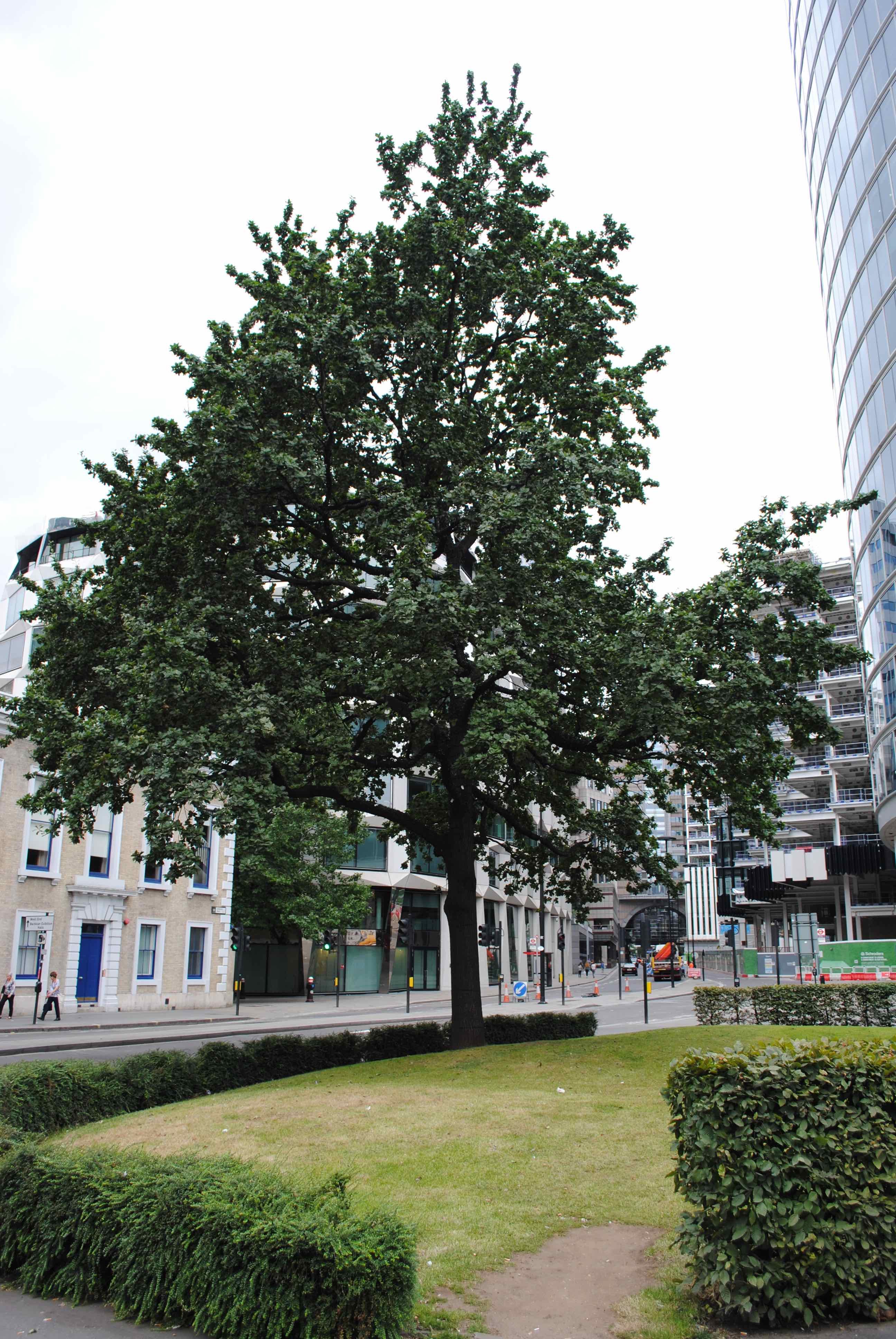 Moorgate oak tree